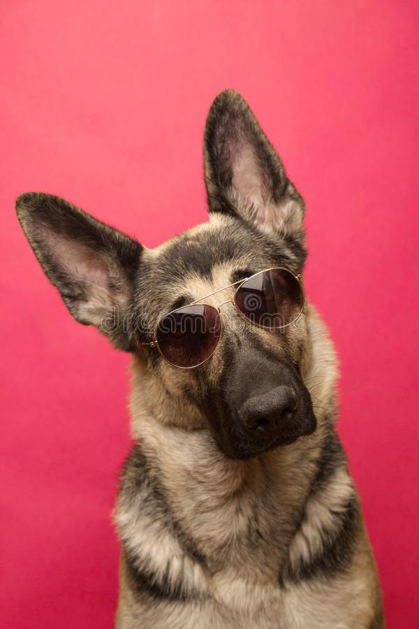 Funny dog in sunglasses peeking above pink banner. isolated on p royalty free stock image