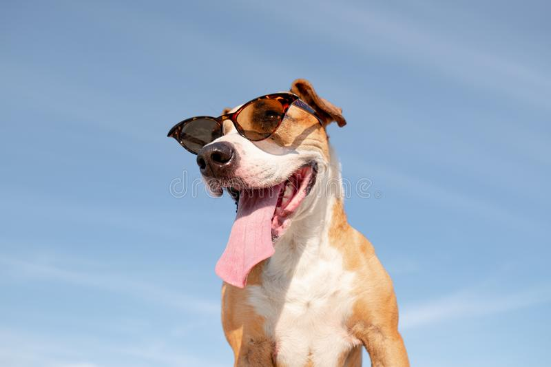 Funny dog in sunglasses portrait, hero shot. royalty free stock image
