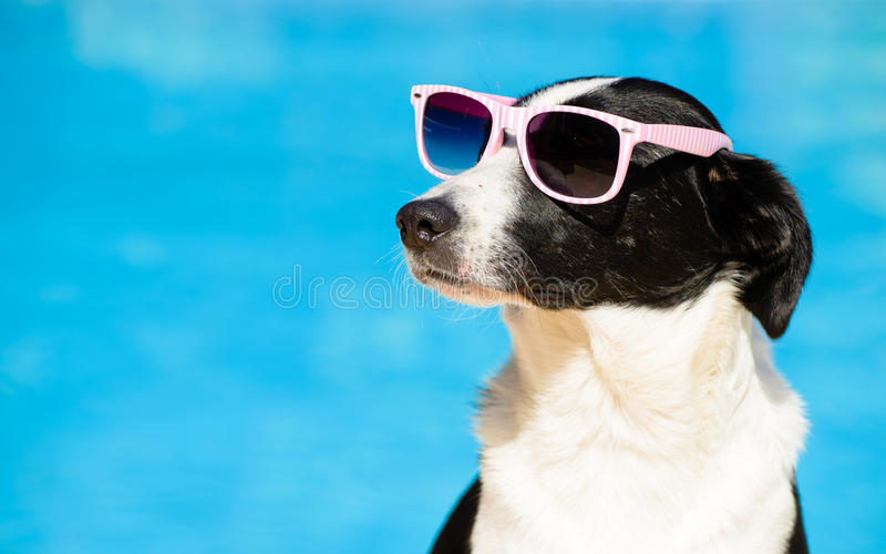 Funny dog with sunglasses on summer towards swimming pool. Funny female dog wearing sunglasses and sunbathing at swimming pool on summer. Summertime vacation stock images
