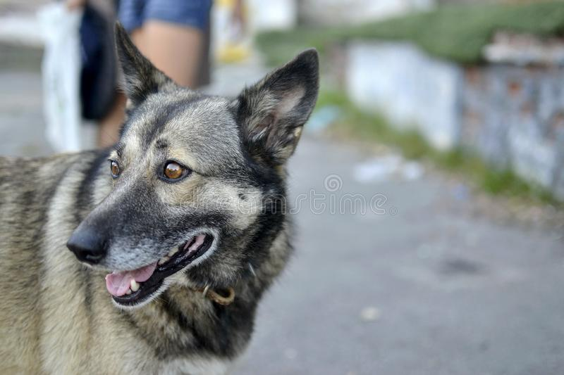 Funny dog for a walk royalty free stock images