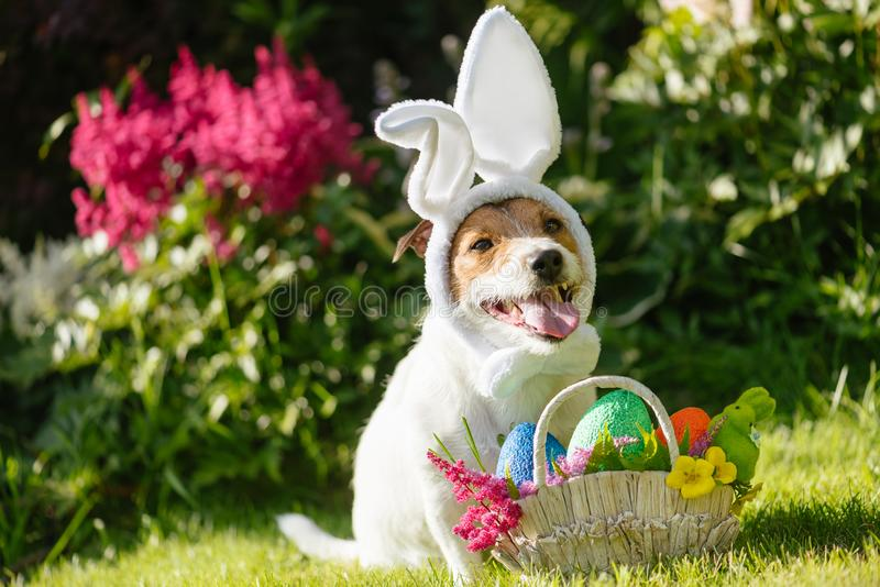 Funny dog wearing easter bunny costume and festive basket with multicolored eggs. Concept for Eastertide dog wearing bunny costume royalty free stock photo