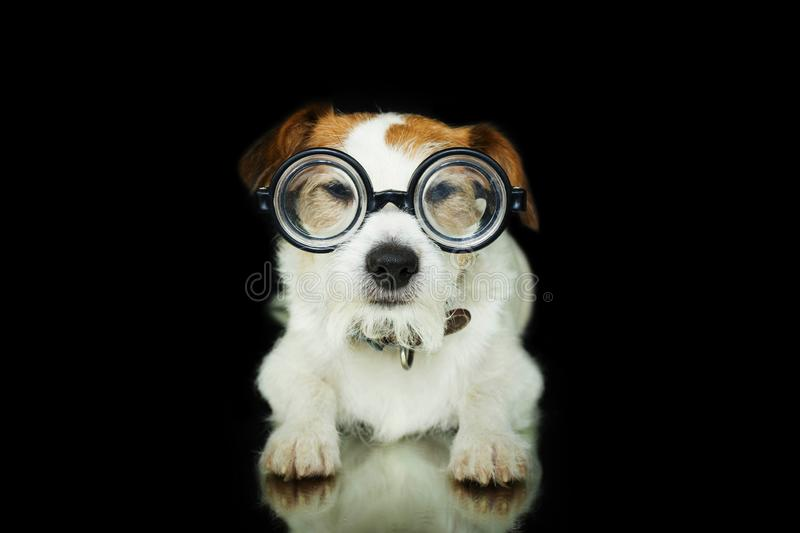 FUNNY DOG WEARING NERD GEEK GLASSES. ISOLATED AGAINST BLACK BACKGROUND. BACK TO SCHOOL stock images
