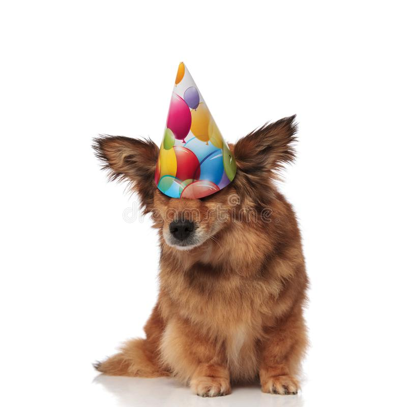 Funny dog wears birthday hat that covers its eyes. Funny brown metis dog wears colorful birthday hat that covers its eyes while sitting on white background stock photo