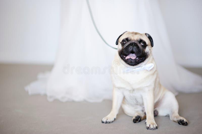 Funny dog at wedding stock image