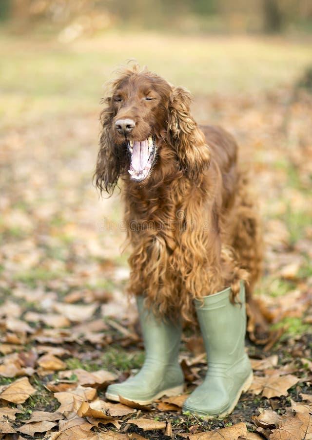 Funny dog yawning stock photography