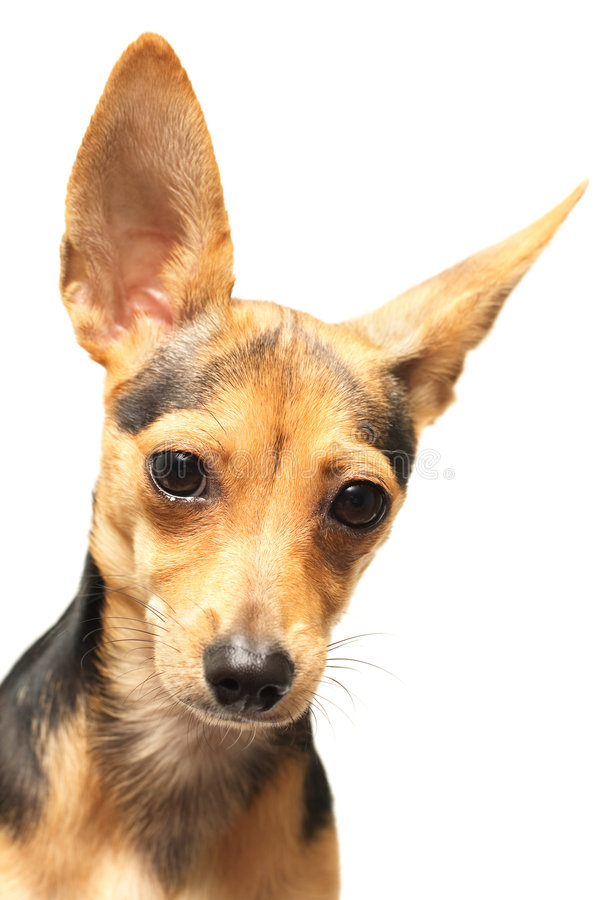 Funny doggy. Russian toy-terrier isolated on white royalty free stock photos