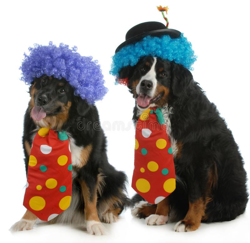 Funny dogs. Two bernese mountain dogs dressed up like clowns on white background stock image