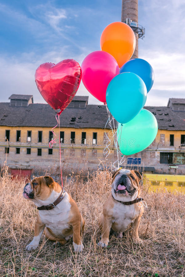 Funny dogs with balloons. Funny English bulldogs with balloons,selective focus stock photo