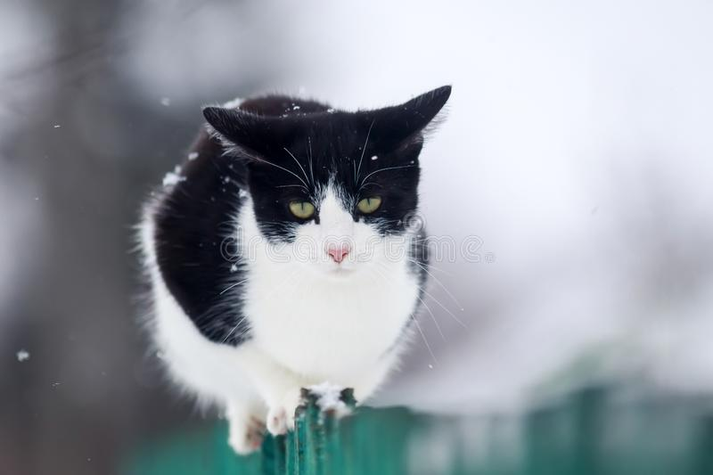 Funny domestic kitten sits on a wooden fence in the village in the garden during a snowfall and looks ahead. Kitten sits on a wooden fence in the village in the royalty free stock photography