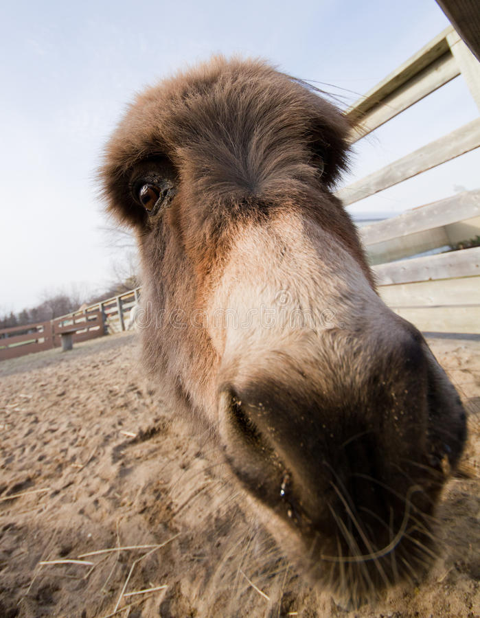 Download Funny Donkey stock photo. Image of nature, canada, horse - 27791868