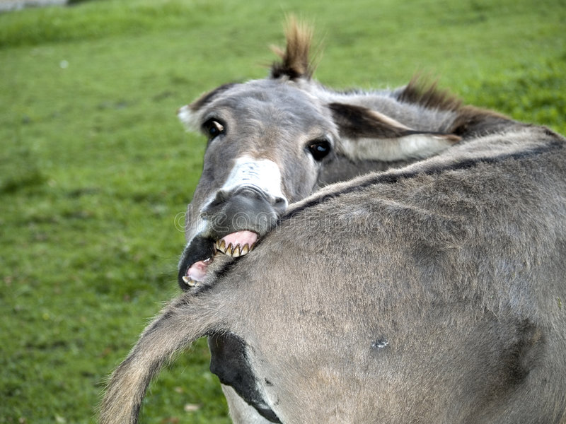 Funny Donkey. Biting his tail looking camera royalty free stock image