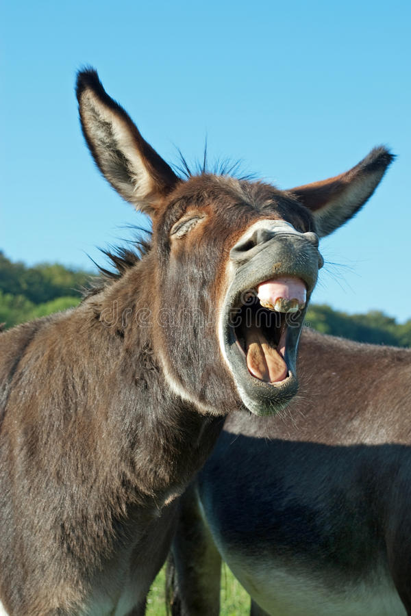 Funny donkey. On a meadow with open mouth royalty free stock photos