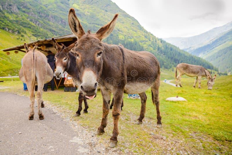 Funny donkey on Transfagarasan Road. In Romanian mountains stock image