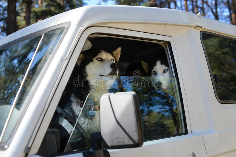 funny driver - the dog behind the wheel royalty free stock image