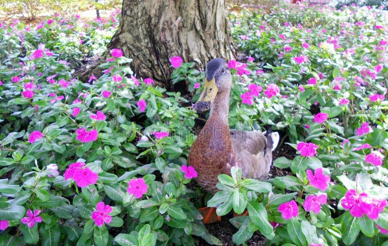Duck stand in a flower garden royalty free stock photos
