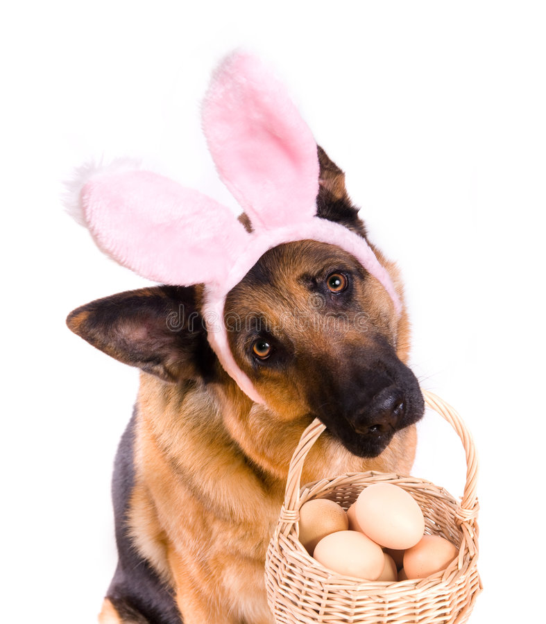 Funny Easter Dog With Basket. Funny Easter dog or bunny rabbit holding basket full of eggs royalty free stock photography