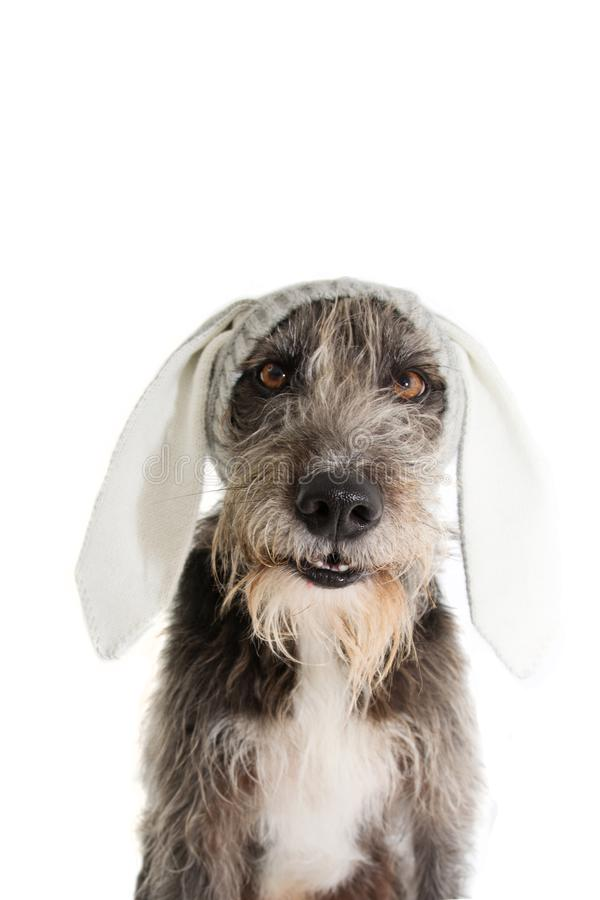 FUNNY EASTER DOG. BLACK PUREBRED PUPPY WEARING RABBIT EARS HAT. ISOLATED STUDIO SHOT AGAINST WHITE BACKGROUND stock photo
