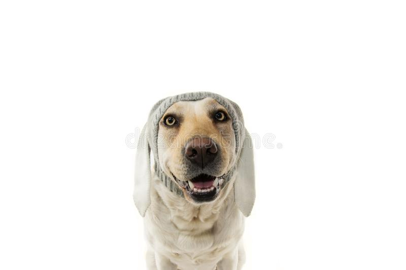 FUNNY EASTER DOG. LABRADOR RETRIEVER PUPPY WITH RABBIT EARS. ISOLATED AGAINST WHITE BACKGROUND stock image