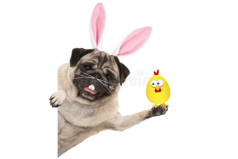 Funny easter pug dog with rabbit teeth, whiskers and ears holding up chicken royalty free stock photography