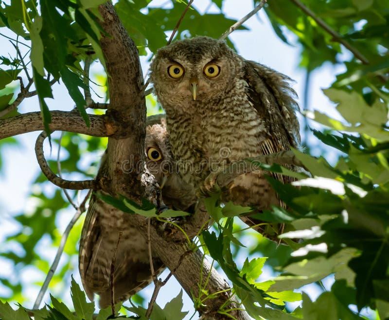 Funny Eastern Screech Owlets neugierig auf lizenzfreies stockfoto