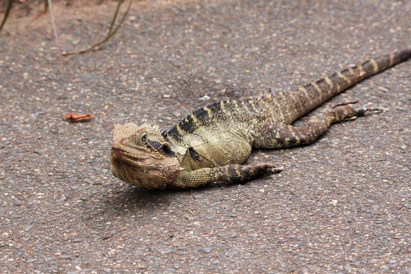 Funny eastern water dragon lying on gravel path basking in the sun royalty free stock photos