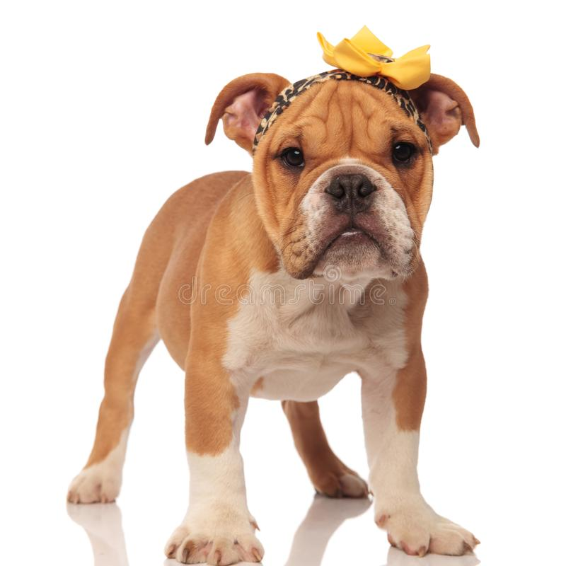 Funny english bulldog pup wearing leopard print headband. With a yellow flower on top, standing on white background royalty free stock image