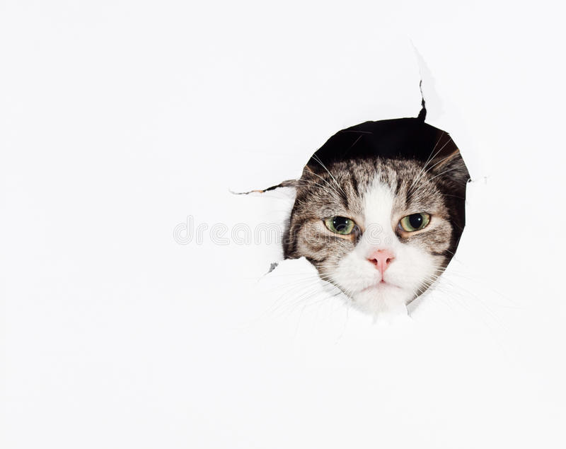 Funny european cat royalty free stock images