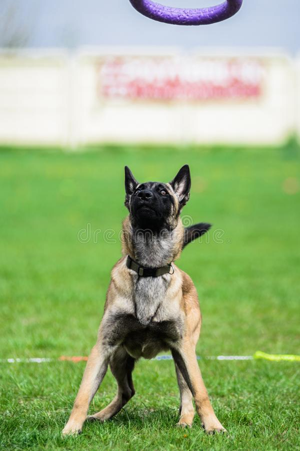 Funny face Belgian Shepherd catching puller toy royalty free stock photo