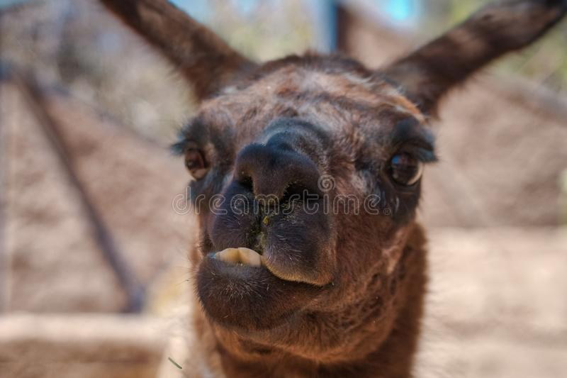 Funny face of brown llama in close-up. Funny face of brown llama with front teeth biting its own lip, viewed from the front in close-up stock photo