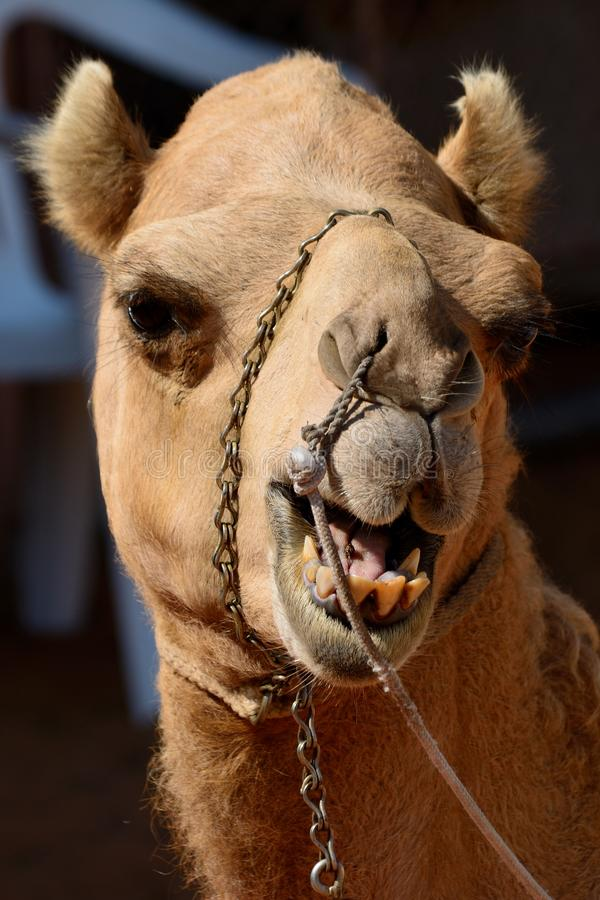 Funny face camel head in front of a dark background stock image