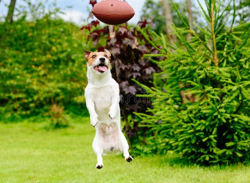 Funny face of dog playing fantasy american football at backyard garden. Amusing jump of Jack Russell Terrier dog royalty free stock photo