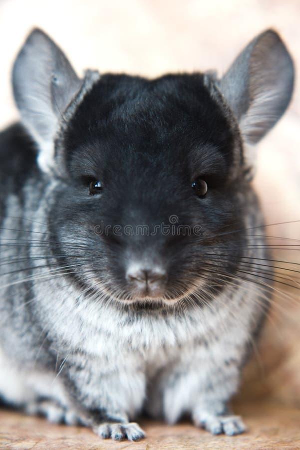 Funny face domestic chinchilla, close-up portrait stock image