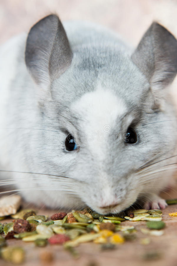 Funny face domestic chinchilla smelling food royalty free stock photography