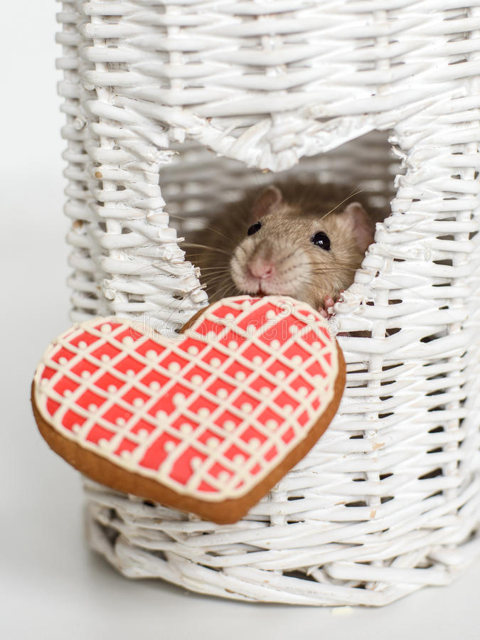 Funny face fancy rat with a heart shape biscuit royalty free stock image