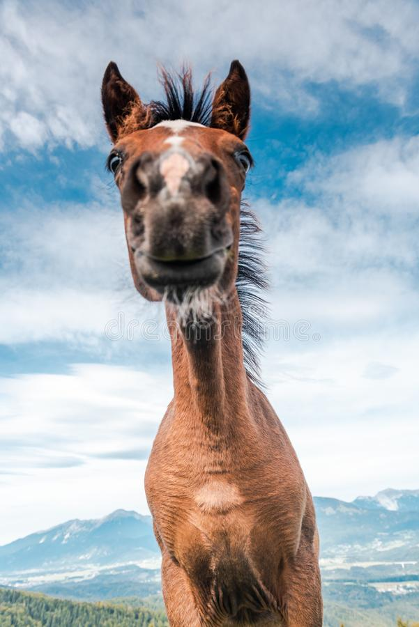 Funny Face Horse Head Portrait. Unique Perspective. Agriculture, animal, beautiful, brown, chestnut, countryside, domestic, equestrian, equine, farm, farmland royalty free stock photos