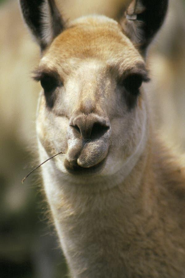 Funny face llama royalty free stock photos