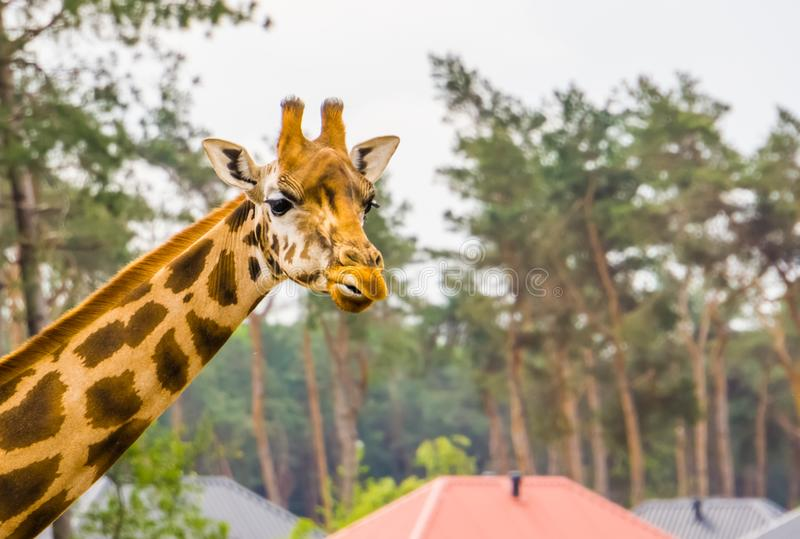 Funny face of a nubian giraffe in closeup, sub specie of the northern giraffe, Critically endangered animal specie from Africa. A funny face of a nubian giraffe royalty free stock photo