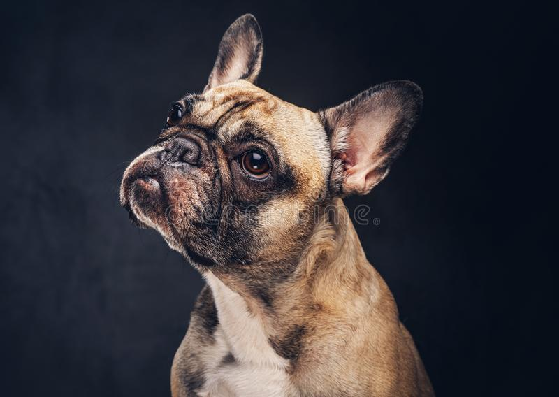Funny face of a pug dog isolated on a dark background stock image download funny face of a pug dog isolated on a dark background stock image voltagebd Image collections