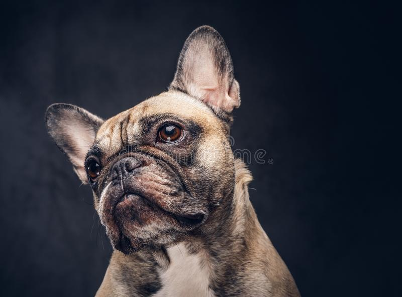 Funny face of a pug dog isolated on a dark background stock image download funny face of a pug dog isolated on a dark background stock image voltagebd Gallery