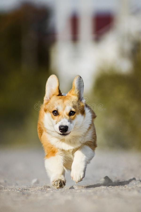 Funny face Welsh Corgi Pembroke dog running with tongue out royalty free stock image