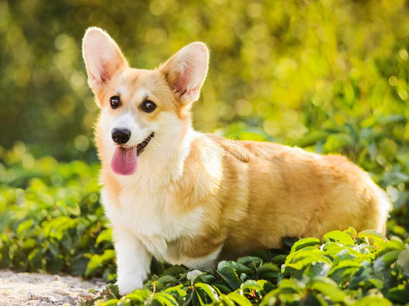 Funny Welsh Corgi Pembroke standing in grass stock photography