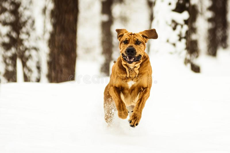 Adult Fila Brasileiro having fun in snow. Funny face wrinkly Fila Brasileiro Dog Brazilian Mastiff having fun in snow, winter scene royalty free stock image