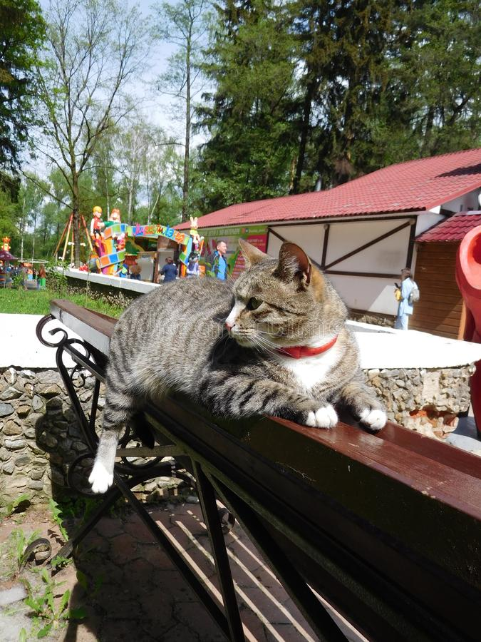 Funny fat cat lies on a park bench. A cheerful and fat cat in a red collar lounged on a bench in a summer park, hanging a cute paw funny. fun, good emotions royalty free stock images