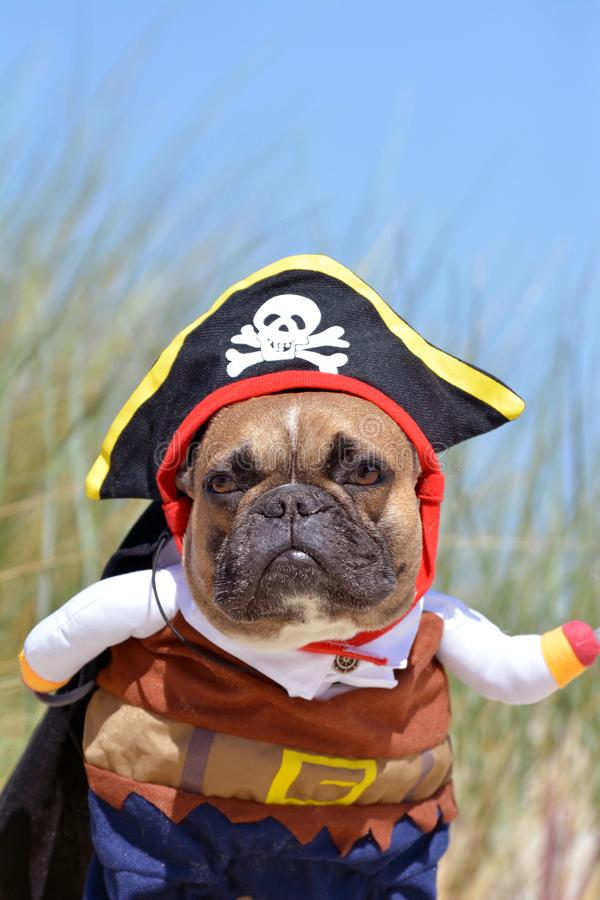 Funny fawn French Bulldog dog boy dressed up in pirate costume with hat and arms stock photography