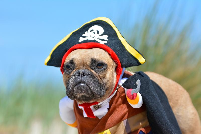 Funny fawn French Bulldog dog girl dressed up in pirate costume with hat and hook stock images