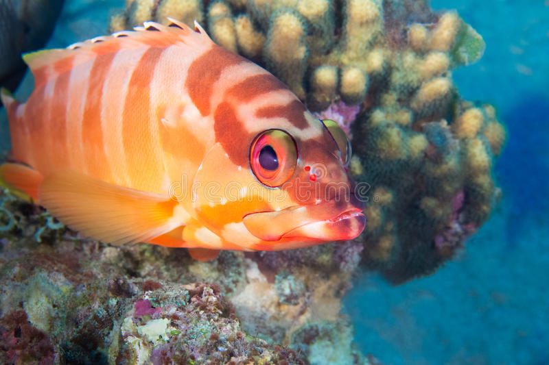 Funny fish close-up portrait. Tropical coral reef scene. Underwater photo. royalty free stock image