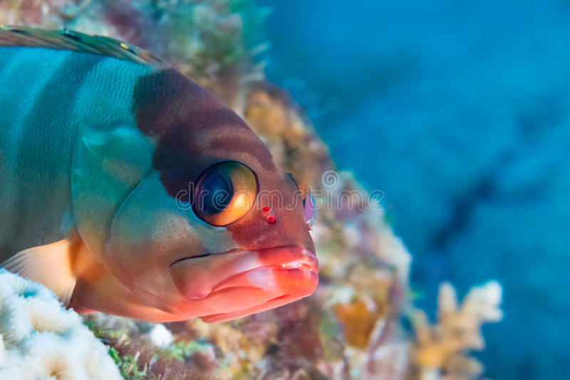 Funny fish close-up portrait. Tropical coral reef scene. Underwater photo. royalty free stock photos