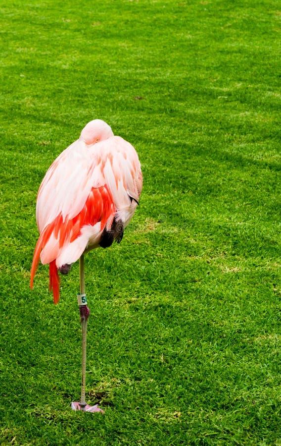 Funny flamingo hiding its head among grass. Funny pink flamingo bird on tropical island with palms hiding head royalty free stock photo