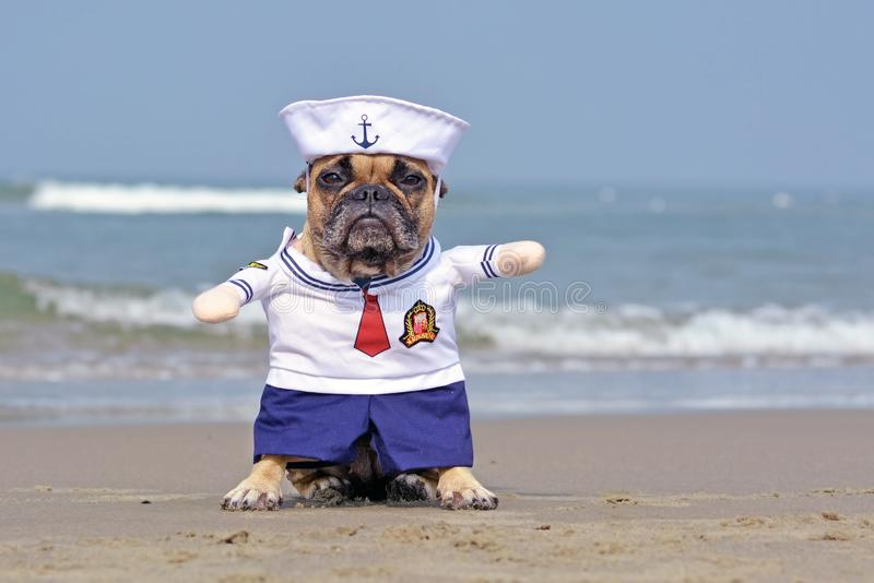 Funny French Bulldog dressed up with cute sailor dog Halloween costume on beach with ocean in background royalty free stock photography