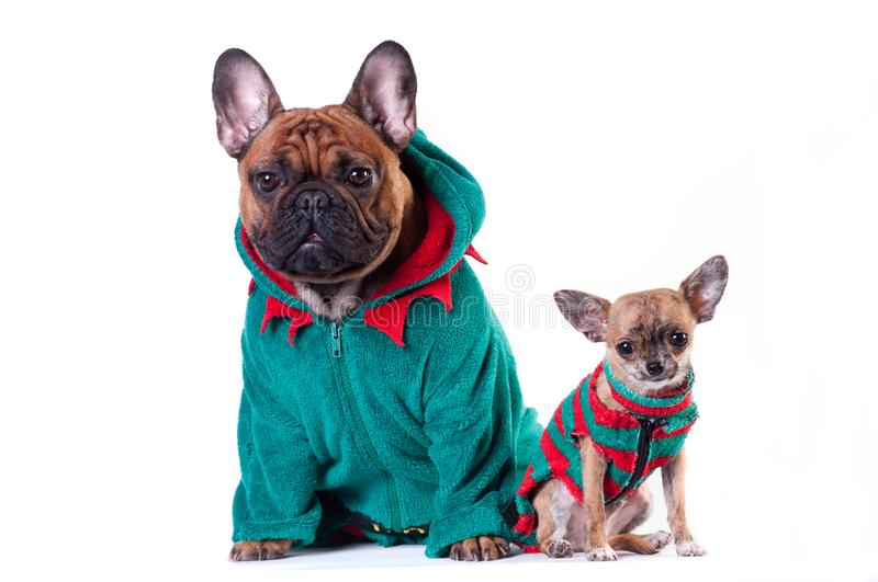 Funny french bulldog in green elf suit. Isolated on white royalty free stock photo